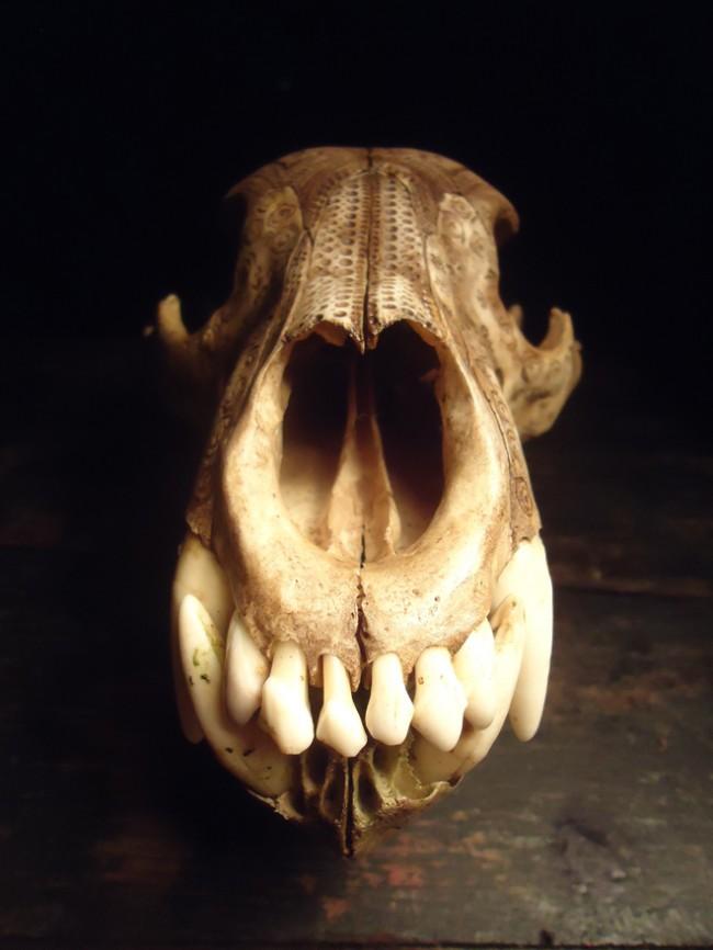 bear-skull-teeth-relief-2014