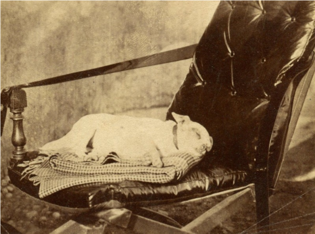 victorian-post-mortem-photography-skull-illusion-pets-dog-chair