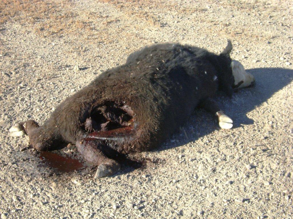 Cattle Mutilations The Fbi Files Cvlt Nation