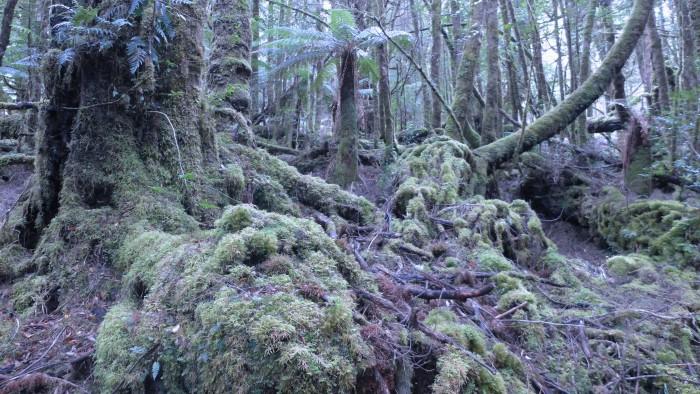 Cool_Temperate_Rainforest,_Creepy_Crawley_Nature_Trail,_Tasmania,_March_2015 edit