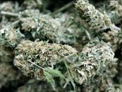 Taste the Void: Cannabis Sativa