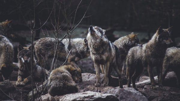Howl at 8